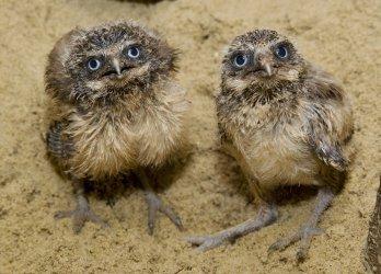 Baby burrowing owls at Washington's National Zoo