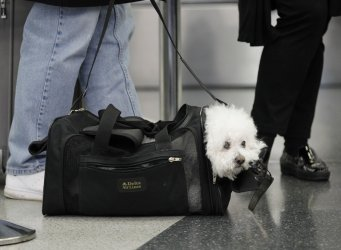 Dog waits with owners at airport in Chicago