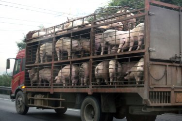 Pigs are take to a slaughterhouse in Beijing