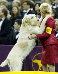 Westminster Dog Show at Madison Square Garden.