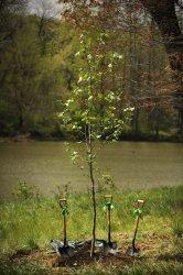 NASA, National Arboretum plant moon tree in Washington