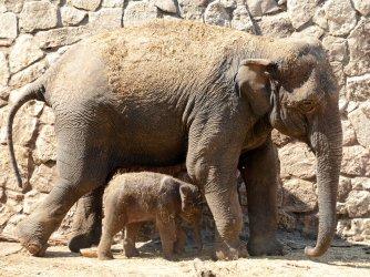 Endangered Asian Elephant Born Safari Park In Israel