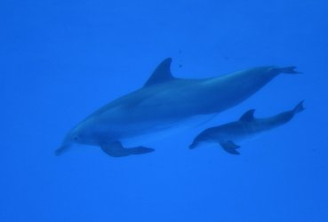 Dolphin Calf Born at Brookfield Zoo in Brookfield, Illinois