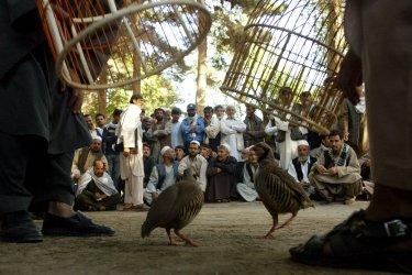 Afghans enjoy Partridge-fighting in Kabul