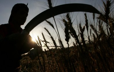 Palestinian farmers harvest wheat during the annual wheat harvest in Gaza