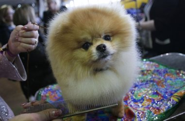 A Pomeranian at Westminster Dog Show in New York