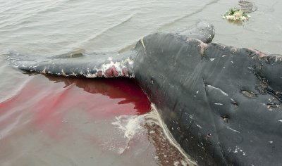 A beached humpback whale dies in White Rock near Vancouver