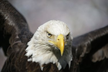 A Bald Eagle is held on the field