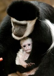 Baby colobus monkey is now on view at Saint Louis Zoo