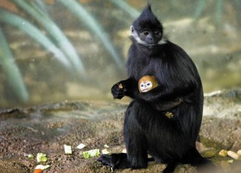 Rare primate born at Lincoln Park Zoo in Chicago