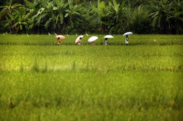 Young Chinese students walk home through a rice paddy In Daxin