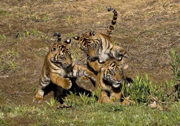 Sumatran tiger cubs on view to public at San Diego Zoo