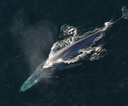 Study: Blue whales can't avoid barges, ocean liners