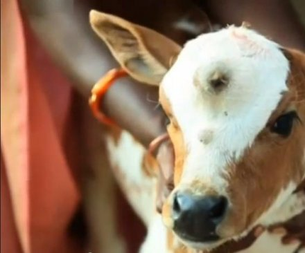 Calf with third eye hailed as incarnation of Shiva