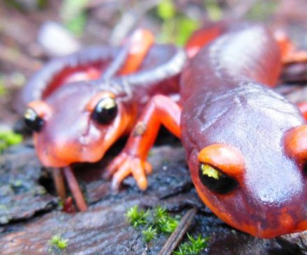 Scientists call for U.S. ban on salamander imports
