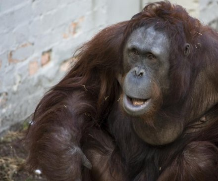 Argentine court recognizes captive orangutan as 'non-human person'