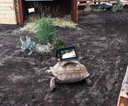 iPad-wearing tortoises removed from Aspen art museum and moved to conservatory