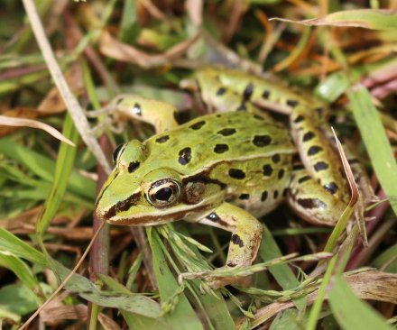 New frog species found in New York City