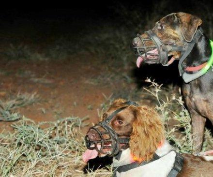 Dogs help Australian scientists catch cats