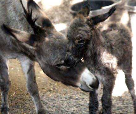 Intoxicated man rolls car, wakes up in field of donkeys