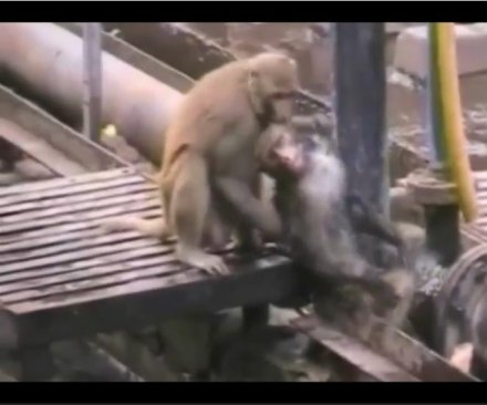 Monkey revives electrocuted friend at train station