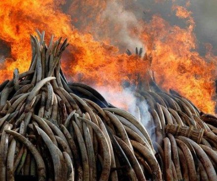 Kenya torches 100 tons of ivory to curb poaching