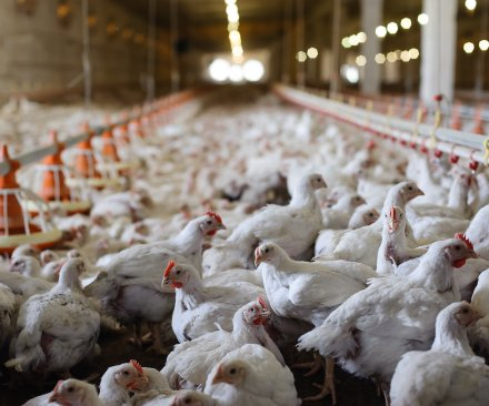Avian flu hits farm with 1.1 million chickens; biggest yet in Minnesota
