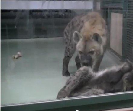 Hyenas fail to breed, zoo discovers both are male