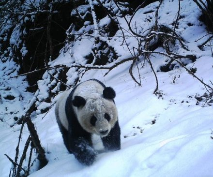 Study proves pandas aren't loners