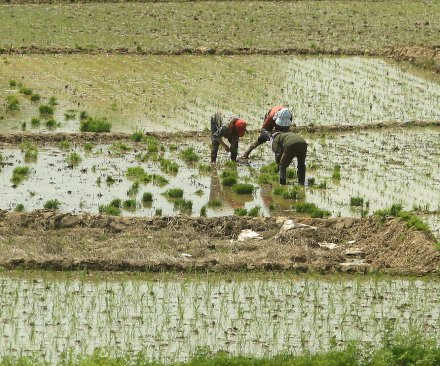 Scientists discover rice plant's immune system trigger