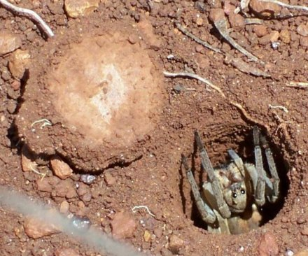 Trapdoor spider populations declining in southern Australia