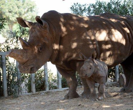First white rhino born in captivity dies in Kenyan conservancy