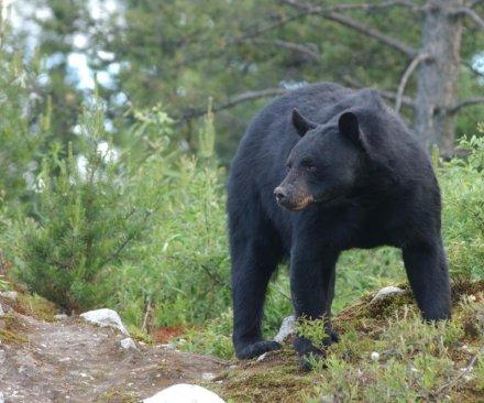 Northern California heart attack victim eaten by bear