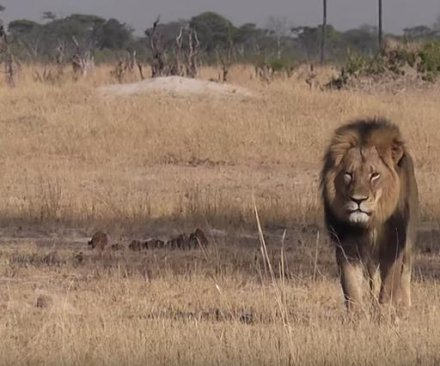 Obama administration offers assistance in Cecil the lion investigation