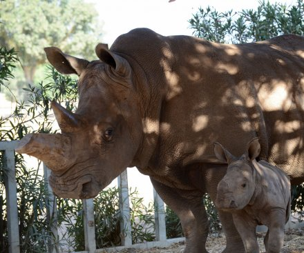 First white rhino born in captivity dies in Kenyan conservancy