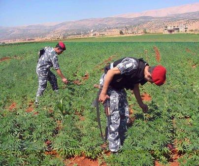 Islamic State burns marijuana fields in Syria