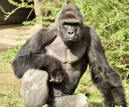 Cincinnati Zoo gorilla shot dead after dragging child who fell into exhibit