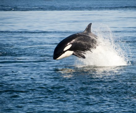 Captive orca breeding banned at California's SeaWorld