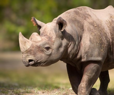Illegal rhino horns found on NKoreans arrested in Mozambique