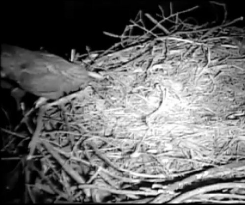 Owls challenge bald eagle pair for Iowa nest in video