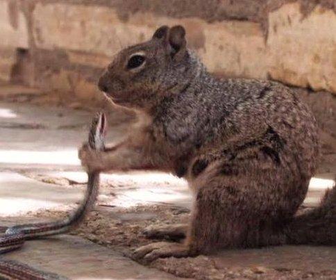 Squirrel eats snake at Texas national park