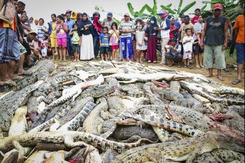 Indonesian mob kills 300 crocodiles seeking revenge for man's death
