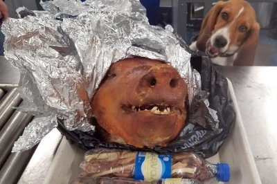 Customs beagle sniffs out pig head in luggage