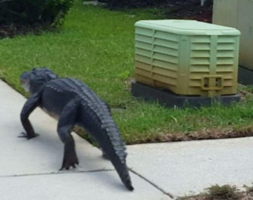 Gator casually walks through Florida yard