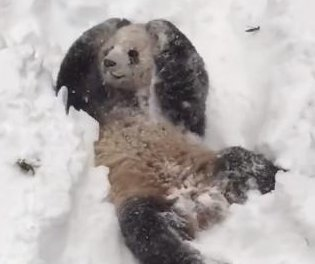 National Zoo panda Tian Tian frolics in the fresh snow