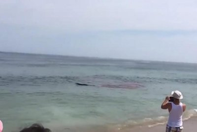 Swimmers rush out of water when shark attacks seal at Cape Cod beach