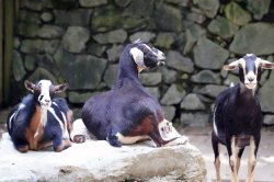 Hawaii plans goat lottery to clear animals from national park