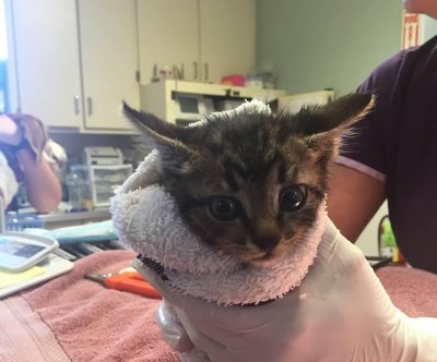 8-week-old-kitten rescued from car engine
