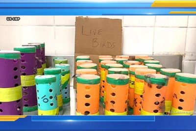 Two men arrested for smuggling live birds in hair curlers