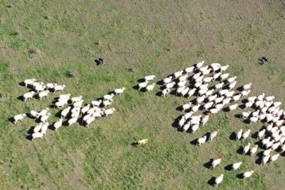 Robot dog herds sheep in New Zealand